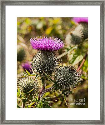 Hedgerow 2 Thistle Framed Print