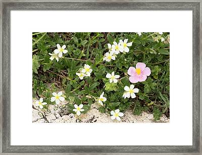Helianthemum Flowers Framed Print by Bob Gibbons