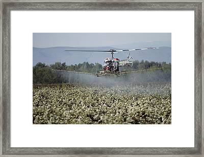 Helicopter Spraying Apple Orchards Framed Print by Sisse Brimberg