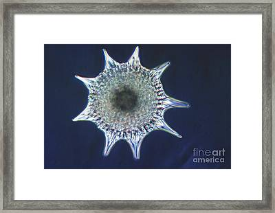 Heliodiscus Sp. Radiolarian Lm Framed Print by Eric V. Grave