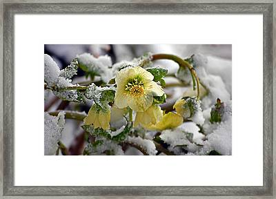 Hellebore Flowers Blooming In Snow Framed Print