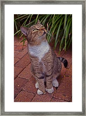 Hemingway House 6 Toed Cat 01 Framed Print