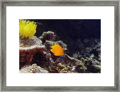 Herald's Angelfish (centropyge Heraldi) Swimming Underwater, North Sulawesi, Sulawesi, Indonesia Framed Print