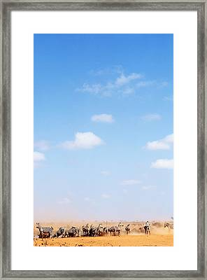 Herd Of Zebras In Dusty Scrubland Framed Print by Axiom Photographic