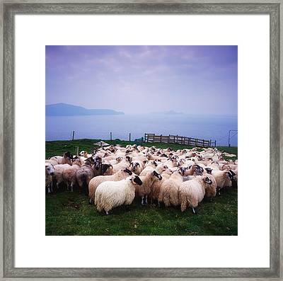 Herding Sheep, Inishtooskert, Blasket Framed Print