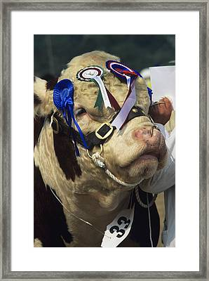 Hereford Bull Framed Print by David Aubrey