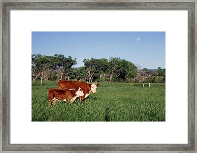 Hereford Cow And Calf Framed Print by John Brink
