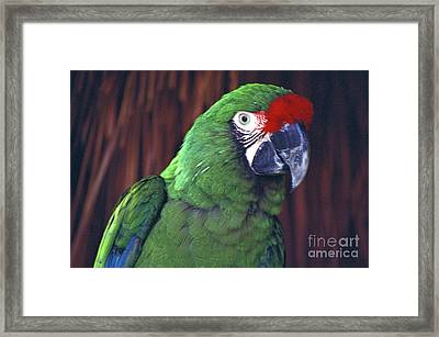 Framed Print featuring the photograph Here's Looking At You Military Macaw Riviera Maya Mexico by John  Mitchell