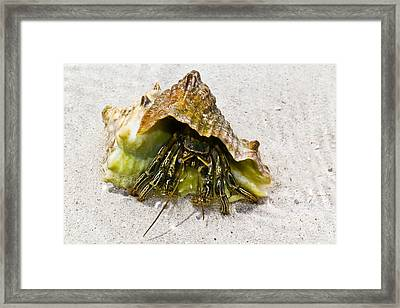 Hermit Crab Framed Print by Bill Rogers
