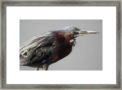Heron Close Up Framed Print by Paulette Thomas