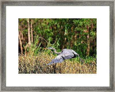 Heron Flying Along The River Bank Framed Print