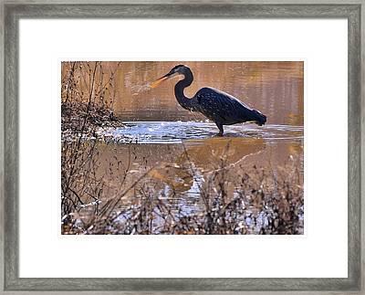 Heron Head Shake - C3136u Framed Print by Paul Lyndon Phillips
