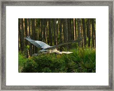 Framed Print featuring the photograph Heron In Flight by Rick Frost