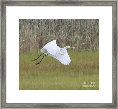 Heron Over Connecticut Marsh Framed Print