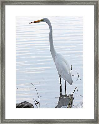 Heron Reflection Framed Print by Becky Lodes