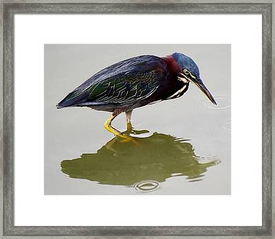 Heron Reflection Framed Print by Paulette Thomas