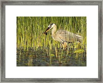Heron's Snack Framed Print