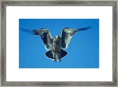 Herring Gull In Hummingbird Mode Framed Print
