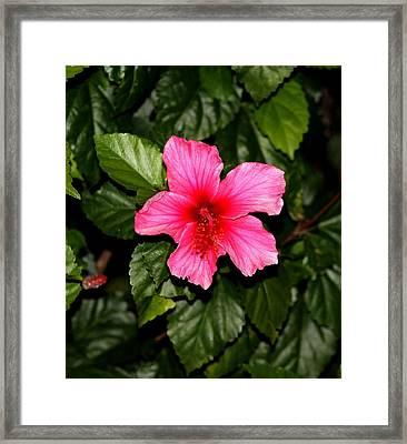 Hibiscus   Framed Print by Elizabeth  Doran