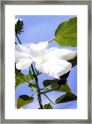 Hibiscus -1 Framed Print by Alan Hausenflock