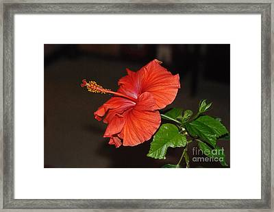 Framed Print featuring the photograph Hibiscus Bloom by Mark McReynolds