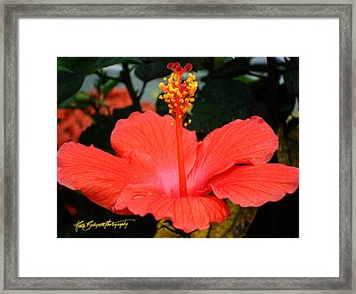Hibiscus Bowl Framed Print by Ruth Bodycott