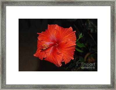 Framed Print featuring the photograph Hibiscus Close Up by Mark McReynolds