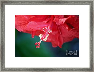Hibiscus Dream Framed Print by Carol Groenen