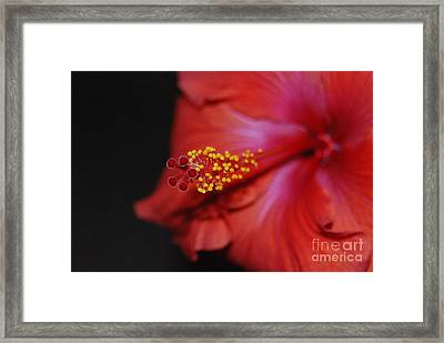 Framed Print featuring the photograph Hibiscus Extreme by Mark McReynolds