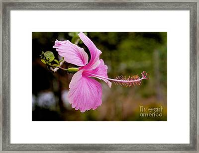 Framed Print featuring the pyrography hibiscus flower of Borneo.  by Gary Bridger