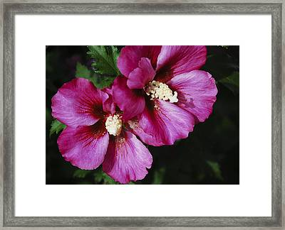Hibiscus Flowers Framed Print by Janice Adomeit