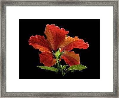 Framed Print featuring the photograph Hibiscus by Geraldine Alexander