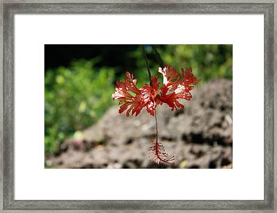 Hibiscus  Framed Print by Natalija Wortman