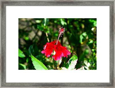 Framed Print featuring the photograph Hibiscus by Pravine Chester