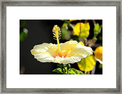 Hibiscus Rising Framed Print
