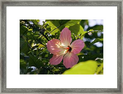 Hibiscus Rosa-sinensis Framed Print by Dr Keith Wheeler