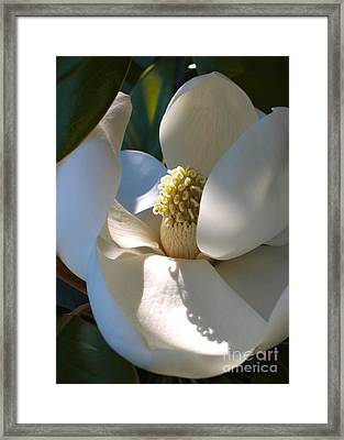 Hidden Magnolia Framed Print by Carol Groenen