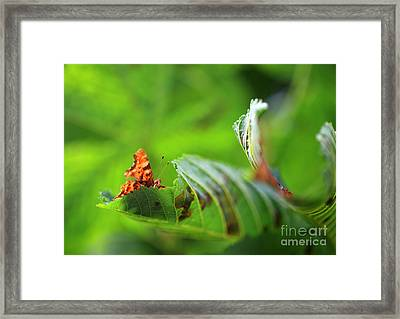 Hiding Comma Butterfly Framed Print by Clare Scott