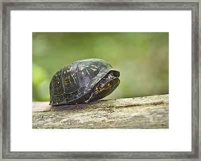 Hiding In Shell Framed Print