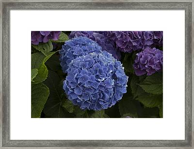 Hidrangea Framed Print by Michel DesRoches