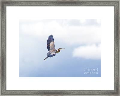 High Flying Blue Heron  Framed Print by John  Kolenberg