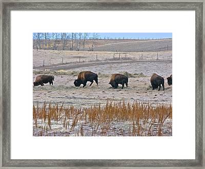 Framed Print featuring the photograph High Plains Buffalo by Brian Sereda