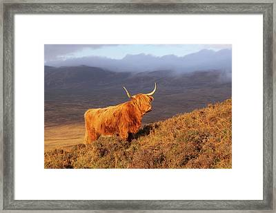 Highland Cattle Landscape Framed Print by Bruce J Robinson