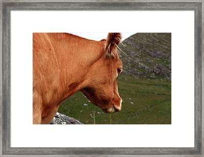Highland Grazer Framed Print by Aidan Moran