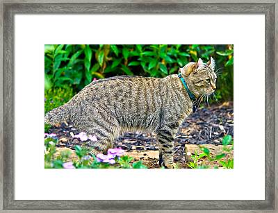 Highland Lynx Cat In Garden Framed Print by Susan Leggett