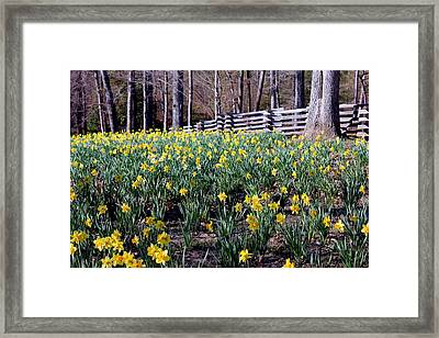 Hills Of Daffodils Framed Print by Betty Northcutt