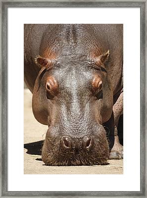 Hippopotamus Framed Print by Ernie Echols