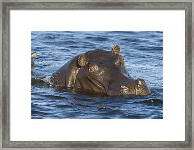 Hippopotamus Hippopotamus Amphibius Framed Print by Suzi Eszterhas