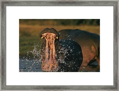 Hippopotamus Hippopotamus Sp., Zambezi Framed Print