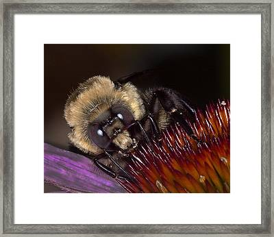 Histute Bee Framed Print